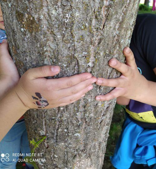 wir messen den Umfang eines  Baumes